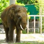 Big wild elephant — Stock Photo #55923697