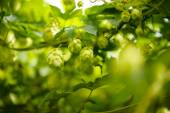 Green leaves of  hops — Stock Photo