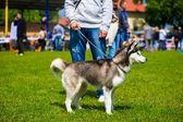 Siberian Husky dog — Stock Photo