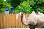 Arabian wild camel — Stock Photo