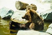 Bear sitting in the water — Стоковое фото