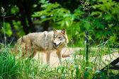 Wild grey Wolf — Fotografia Stock
