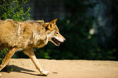 Wild grey Wolf — Stock Photo