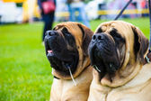 Adult cute Dogs — Stock Photo