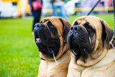 Adult cute Dogs — Stock fotografie