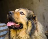 Adult cute Dog — 图库照片
