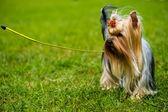 Yetişkin köpek — Stok fotoğraf