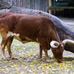 Watusi cattle — Stock Photo #56549175
