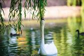Mooie jonge zwanen in lake — Stockfoto
