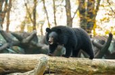 American Bear Cub — Foto de Stock