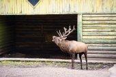 Wild big Deer — Stockfoto