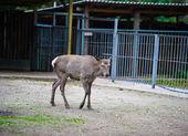 野生大鹿 — 图库照片