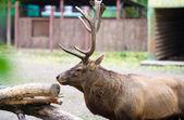 Wild big Deer — Stock Photo