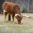 Watusi cattle — Stock Photo #56558069