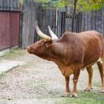 Watusi cattle — Stock Photo #56558087