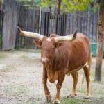 Watusi cattle — Stock Photo #56558089