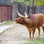Watusi cattle — Stock Photo #56558091