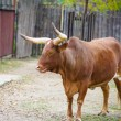 Watusi cattle — Stock Photo #56558171