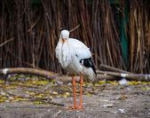 White stork bird — Stock Photo