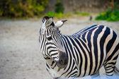 African Zebra standing — Stockfoto