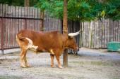 Bull. Watusi cattle — Stock Photo