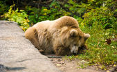 Big Brown bear — Stock Photo