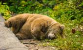 Big Brown bear — Stockfoto