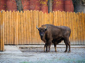 American wild bison — Foto Stock