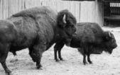 American wild bisons — Photo