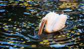 White Pelican in water — Stock Photo