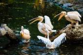 White Pelicans near water — Stock Photo