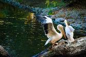 White Pelicans near water — ストック写真