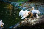 White Pelicans near water — Stock Photo