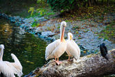 White Pelicans near water — Stockfoto