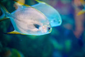 Sea swimming fishes — Stock Photo