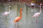 African pink Flamingos — Stock Photo