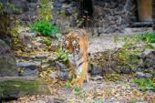 Big Amur Tiger — Stock Photo