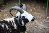 Four horned sheep — Stock Photo