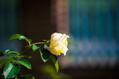 Mooie roze roos — Stockfoto