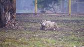 Beautiful young Sheep — 图库照片