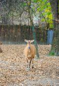 Антилопа нильгау молодых — Стоковое фото