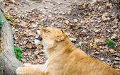 ライオンの歩行 — ストック写真