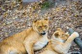 Walking lion — Stock Photo