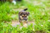 Cachorro 2 meses — Fotografia Stock