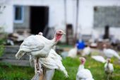 Young turkey on a farm — Stock Photo