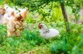 Chickens — Stock Photo