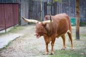 Watusi cattle — Stock Photo