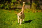 Cat running on green grass — Стоковое фото