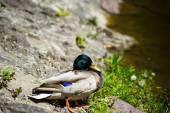 Flotteurs de canards au lac — Photo
