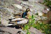 Ducks floats in lake — Stock Photo